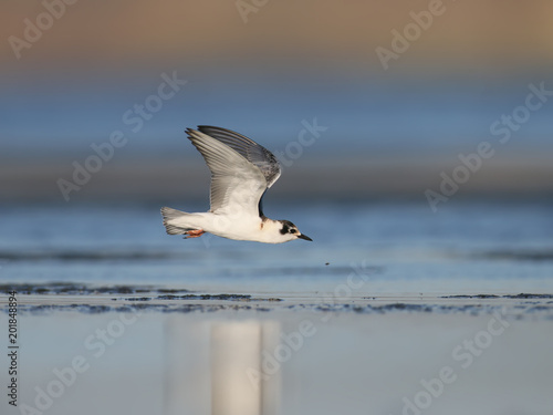 A young little gull in flight over the shore of a estuary