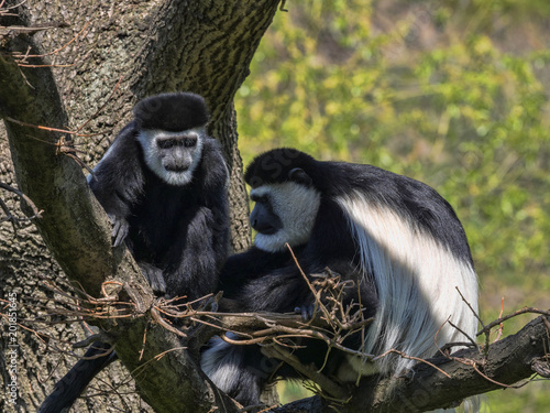 Foto Murales The family Mantled guereza, Colobus guereza, with a white colored baby