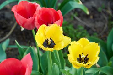 Nahaufnahme von Tulpen im Blumengarten
