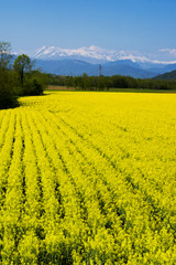Yellow rapeseed flower field and snow-capped mountains in background. Italy, regione Friuli-Venezia Giulia © Elena Degano