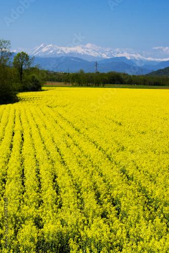 Yellow rapeseed flower field and snow-capped mountains in background. Italy, regione Friuli-Venezia Giulia © Elena Degano