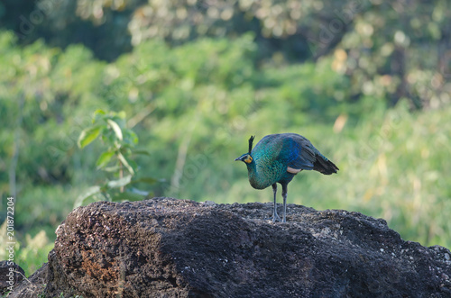 Foto Murales Green peafowl, Peacock in nature