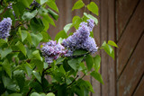 Lilac blossoms in the garden. Spring flowers - 201891486