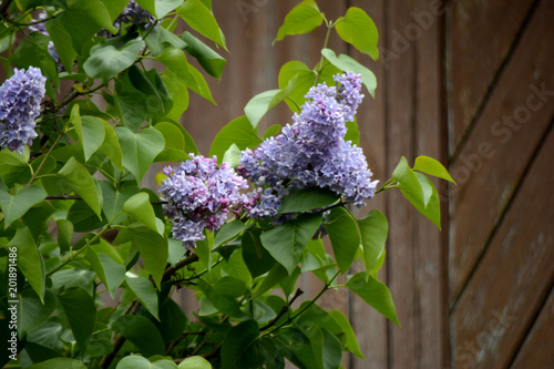 Lilac blossoms in the garden. Spring flowers