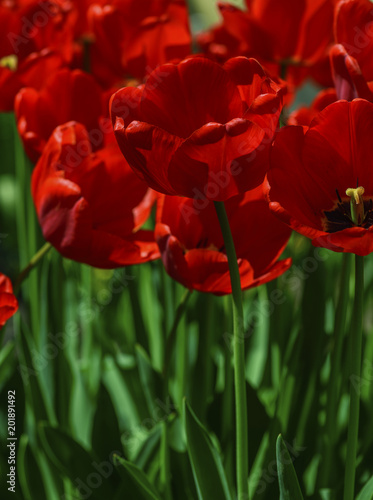 Aluminium Tulpen red blossoming tulips with green stems and leaves