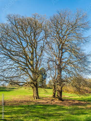 Foto Murales Two impressive oak trees with no leaves in the sunshine surronded by green grass