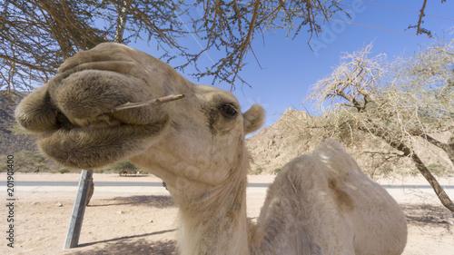 Aluminium Kameel Closeup of camels at the desert. Selective focus and crop fragment.