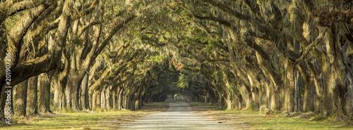 Oak tree lined road in Savannah, Georgia.