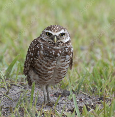 Brown and white spotted burrowing owl with yellow eyes and beak is standing in green grass and dirt edge of its burrow.