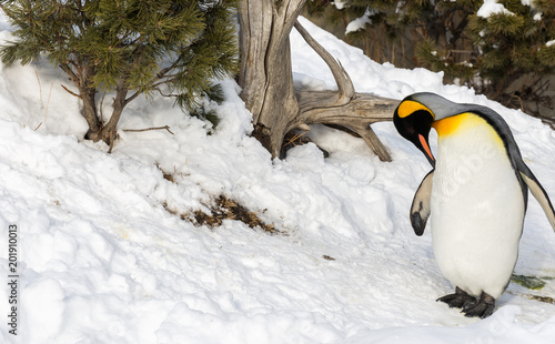 Penguin outside in snow cleaning itself