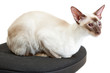 Siamese Cat lies on a office chair