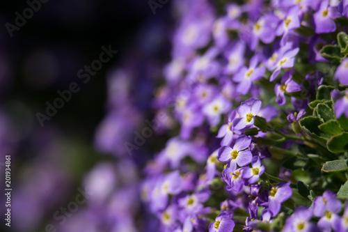 Purple Aubrieta flowers