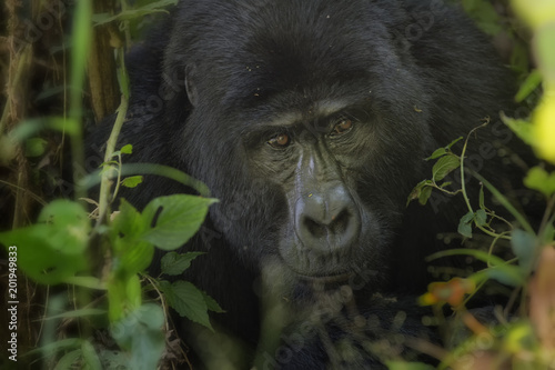 Foto Murales Gorilla in Bwindi Impenetrable Forest;  Uganda