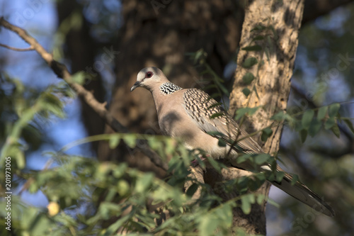 Spotted Dove sitting in the tree crown in the shade on a bright sunny afternoon Poster