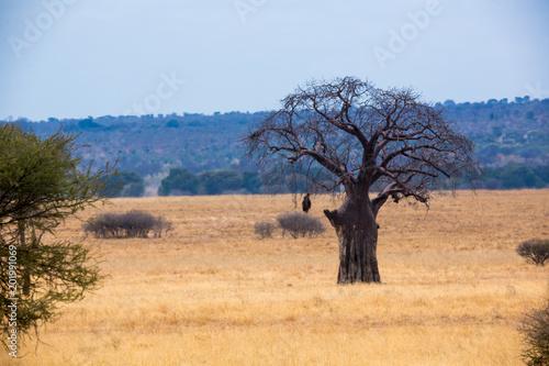 Fotobehang Baobab Babobab Baum in der Savanne
