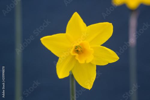 Pojedynczy kwiat żonkila na wystawie podczas dorocznego wiosennego festiwalu odbywającego się w Barnett's Demesne Belfast w Irlandii Północnej