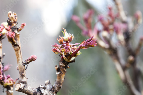 Foto Murales Budding tree with red young leaves. copy space. Soft focus, shallow depth of field. Spring time park nature