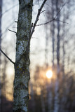 Sunset through the branches of trees in the forest - 202006406