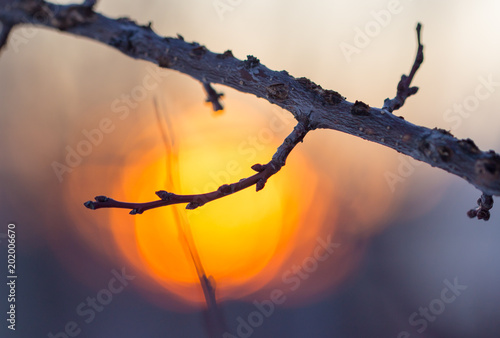 Tree branch with buds on sunset background - 202006670