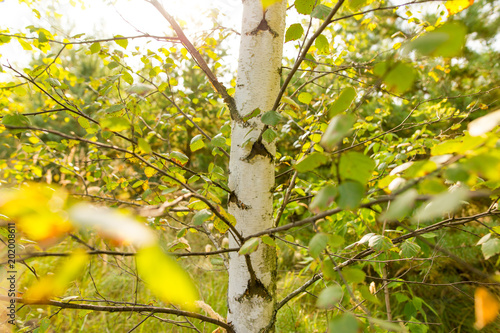 Plexiglas Geel Birches in the open air in the forest