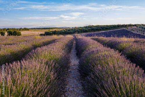Plexiglas Lavendel Champs de lavande en été. Plateau de Valensole, Provence, France.