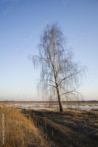 Tall birch at a dirt road - 202028648