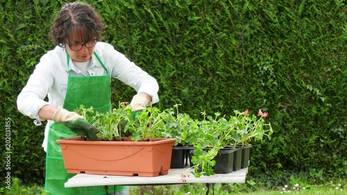 Wall mural woman potting geranium flowers