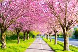 Radweg und Kirschblüte - Sakura - 202051446