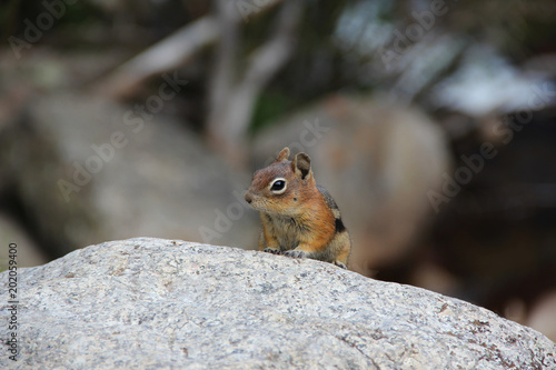 Foto Murales Ground Squirrel Peeking Over Rock along Trail in Rocky Mountain National Park, CO USA
