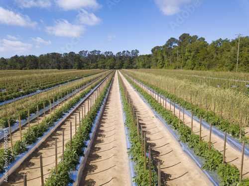 Foto Murales Healthy, lush, tomato field in South Carolina, USA.