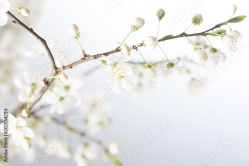 Fototapeta Spring cherry blossom.Abstract background