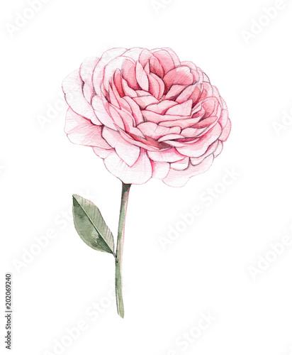 ilustracja-akwarela-piwonia-kwiat-projektowanie-botaniczne