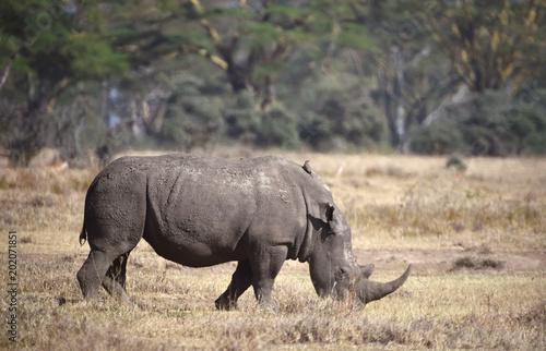 Fotobehang Neushoorn Nashorn in Kenia