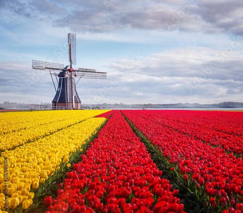 Plexiglas Tulpen Tulips and windmill