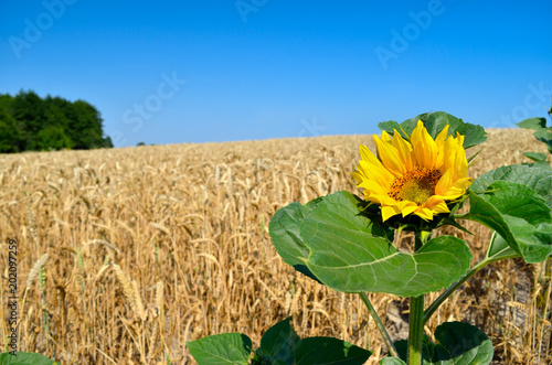 Plexiglas Geel Lone sunflower on the background of the wheat field