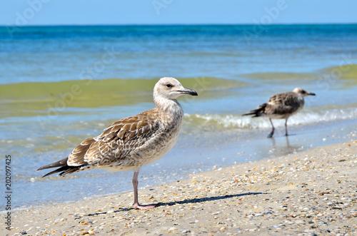 Foto Murales Large Black Sea seagulls in the natural habitat.