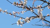 Apricot blossom in spring on blue sky background - 202099420