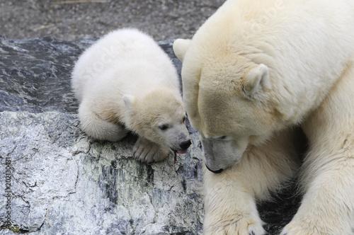 Fotobehang Ijsbeer Junger Eisbär mit Mutter, (Ursus maritimus), Captive, Deutschland, Europa