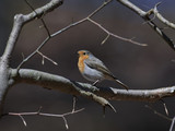 European robin (Erithacus rubecula) - 202132255