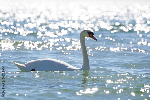 Plexiglas Zwaan White swan on sea