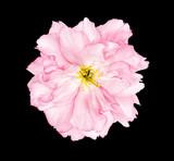 Cherry blossom sakura flower black background - 202149210