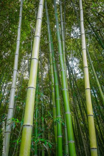 Plexiglas Bamboe Arashiyama bamboo forest, Kyoto, Japan
