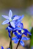 scilla bifolia spring flower - 202168023