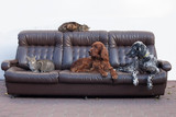 dogs and cats together on the couch - 202168269