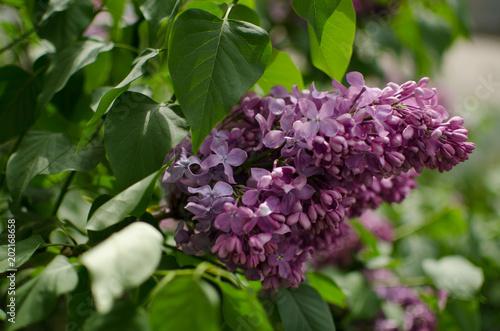 May blooming lilac