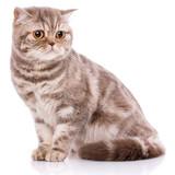 Fototapeta Koty - Portrait of Scottish Fold Kitten sitting, © serkucher