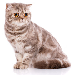Portrait of Scottish Fold Kitten sitting,