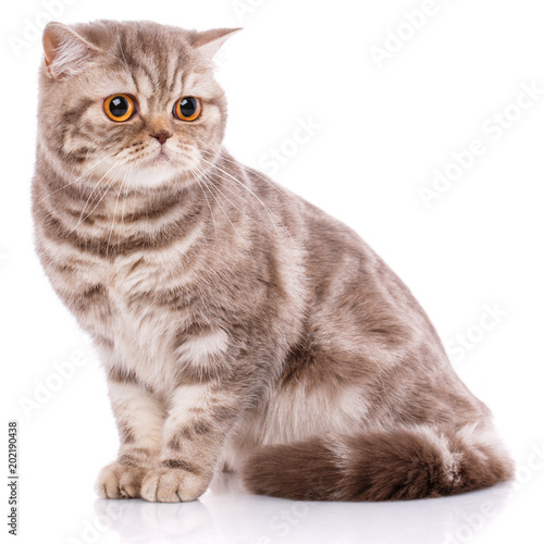 Portrait of Scottish Fold Kitten sitting,