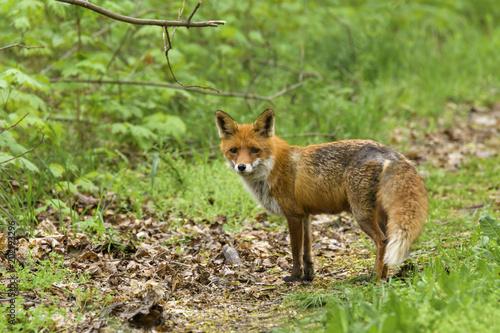 Fototapeta Ein weiblicher Rotfuchs , Fähe , am Waldesrand auf Futtersuche . Am Hintern fehlt Fell durch das ständige raus und rein in den Bau um zu den Jungen zu gelangen