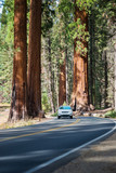 Sequoia national park. Road in Giant Sequoias Forest and the car touring trough - 202193692